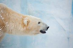Urso branco Fotos de Stock