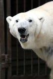 Urso branco Fotografia de Stock