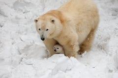 Urso branco Foto de Stock Royalty Free