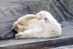 Urso branco Imagens de Stock Royalty Free
