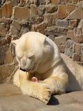 Urso branco após o jantar Fotos de Stock Royalty Free