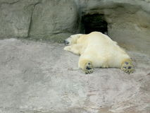 Urso branco do sono Imagem de Stock Royalty Free