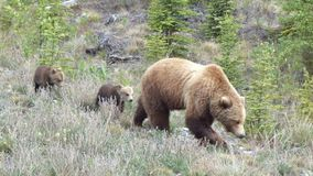 Urso com filhotes Foto de Stock Royalty Free