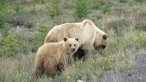 Urso com filhotes Fotos de Stock