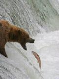 Urso contra salmões Foto de Stock Royalty Free