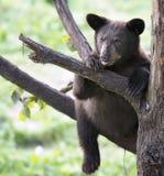 Urso Cub preto americano Fotos de Stock Royalty Free