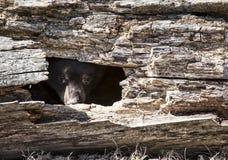 Urso Cub preto americano Imagens de Stock