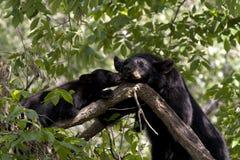Urso Cub que dá beijos da mamã Imagem de Stock