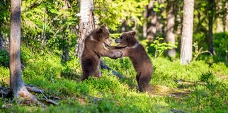 Urso Cubs de Brown que luta playfully Fundo verde da floresta do verão Habitat natural foto de stock