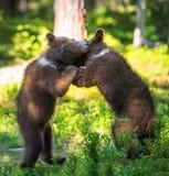 Urso Cubs de Brown que luta playfully Fundo verde da floresta do verão Habitat natural foto de stock royalty free
