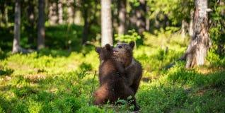 Urso Cubs de Brown que luta playfully Fundo verde da floresta do verão Habitat natural fotografia de stock