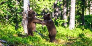 Urso Cubs de Brown que luta playfully Fundo verde da floresta do verão Habitat natural fotos de stock