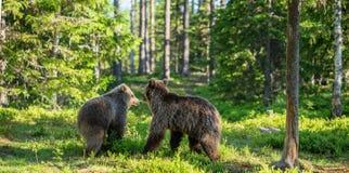 Urso Cubs de Brown que luta playfully Fundo verde da floresta do verão Habitat natural fotos de stock royalty free