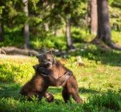 Urso Cubs de Brown que luta playfully no habitat natural da floresta do verão fotografia de stock royalty free