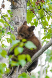 Urso Cubs preto americano (Ursus americano) Foto de Stock Royalty Free