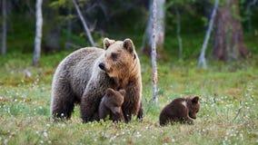 Urso da mãe e seus três cachorrinhos pequenos foto de stock royalty free