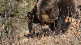 Urso da mãe que acaricia 3 bebês no antro video estoque
