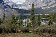 Urso da mamãe Foto de Stock
