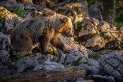 Urso da montanha Foto de Stock