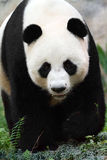 Urso da panda Imagem de Stock