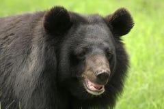 Urso da preguiça Imagens de Stock