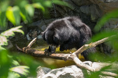 Urso da preguiça fotografia de stock royalty free