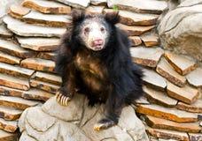 Urso da preguiça Fotografia de Stock