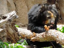 Urso de óculos que come algum alimento Fotografia de Stock Royalty Free