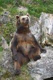 Urso de assento Fotos de Stock Royalty Free