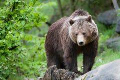 Urso de Brown Foto de Stock