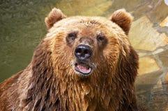 Urso de Brown Imagens de Stock Royalty Free