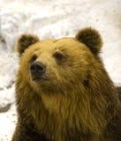 Urso de Brown fotos de stock