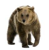 Urso de Brown, 8 anos velho, andando Imagem de Stock Royalty Free
