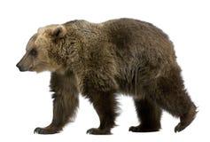 Urso de Brown, 8 anos velho, andando imagem de stock