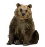 Urso de Brown, 8 anos velho, sentando-se Fotos de Stock Royalty Free