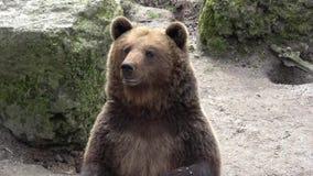 Urso de Brown video estoque