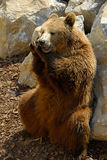 Urso de Brown, arctos do Ursus Imagem de Stock