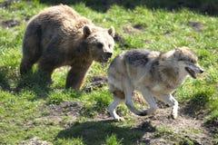Urso de Brown, arctos do ursus imagens de stock