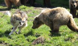 Urso de Brown, arctos do ursus Imagem de Stock