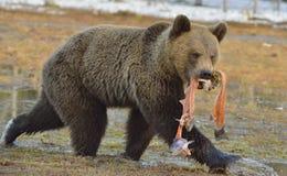 Urso de Brown (arctos do Ursus) que corre com os peixes na boca Fotografia de Stock Royalty Free