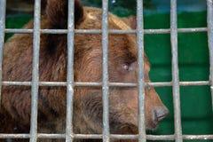 Urso de Brown atrás das barras em uma gaiola do jardim zoológico fotografia de stock royalty free
