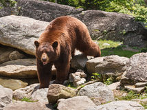 Urso de Brown Carolina Blue Ridge Mountains norte da canela Foto de Stock
