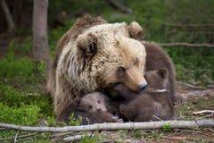 Urso de Brown com o filhote na floresta Imagem de Stock Royalty Free