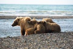 Urso de Brown do Alasca - urso - arctos e filhotes do ursus imagens de stock