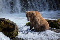 Urso de Brown do Alasca em quedas dos ribeiros Imagem de Stock Royalty Free