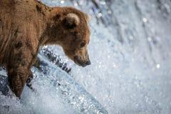 Urso de Brown do Alasca em quedas dos ribeiros Imagens de Stock Royalty Free
