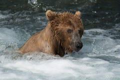 Urso de Brown do Alasca em quedas dos ribeiros foto de stock