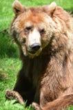 Urso de Brown dos jardins zoológicos de Dartmoor imagens de stock royalty free