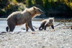 Urso de Brown em Alaska Katmai fotografia de stock royalty free