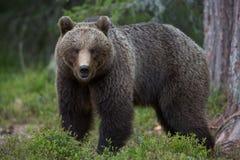 Urso de Brown em florestas finlandesas de Tiaga Imagem de Stock Royalty Free